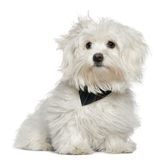 Maltese, 7 months old, sitting Royalty Free Stock Image