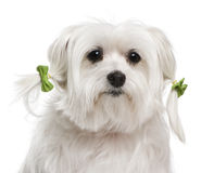 Maltese, 7 years old. In front of white background Stock Image