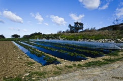 Maltese agriculture. Growing crops in Girgenti fields, island of Malta Royalty Free Stock Photos