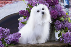 Maltese, beautiful haircut. Maltese dog, beautiful haircut Grooming Royalty Free Stock Photos