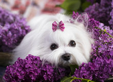 Maltese, beautiful haircut. Maltese dog, beautiful haircut Grooming Stock Photo