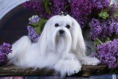 Maltese, beautiful haircut. Maltese dog, beautiful haircut Grooming Royalty Free Stock Photos