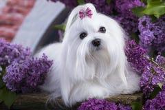 Maltese, beautiful haircut. Maltese dog, beautiful haircut Grooming Royalty Free Stock Photo