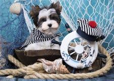 Maltese, beautiful haircut. Maltese dog, beautiful haircut Grooming Stock Photography