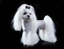 Maltese, beautiful haircut. Maltese dog, beautiful haircut Grooming Stock Photos