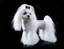 Maltese, beautiful haircut. Maltese dog, beautiful haircut Grooming Stock Photos