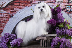 Maltese, beautiful haircut. Maltese in long hair and lilac flowers Royalty Free Stock Photo