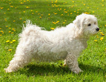 Maltese-bichon. Dog in stacking pose Royalty Free Stock Photos