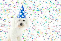 MALTESE BICHON DOG CELERATION WITH CONFETTI AND PARTY BLUE POLK. A DOT PARTY Stock Photo