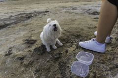 Maltese bichon eating. Girl feeding her pet on the beach Stock Image