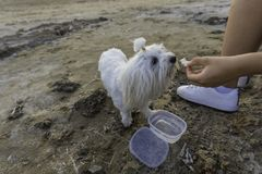 Maltese bichon eating. Girl feeding her pet on the beach Royalty Free Stock Photo