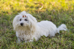 Maltese bichon. Maltese bichon playing in the field Stock Photo