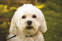 Maltese bichon. White bichon dog looking scared and guilty Stock Photo
