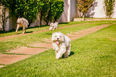 Maltese and border collie dog running on the grass Royalty Free Stock Photo