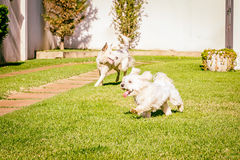 Maltese and border collie dog running on the grass Stock Photos