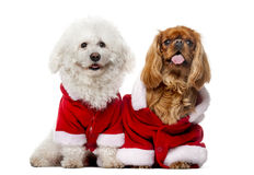 Maltese and Cavalier King Charles Spaniel wear Santa costume. Maltese (4 years old), Cavalier King Charles Spaniel (2 years old) in front of a white background Stock Photography