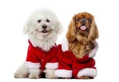 Maltese and Cavalier King Charles Spaniel wear Santa costume Stock Photography