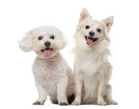 Maltese and Chihuahua in front of a white background. Maltese and Chihuahua sitting in front of a white background Stock Images