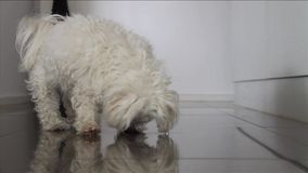 Maltese cross dog stock video