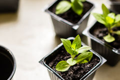 Maltese cross flower seedlings in the small black pots with black soil. Horticulture and the flower planting concept Royalty Free Stock Photos