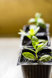 Maltese cross flower seedlings in the small black pots with black soil. Horticulture and the flower planting concept Stock Images