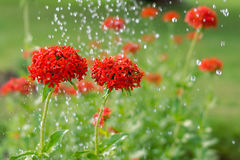 Maltese cross flowers under raindrops blooming in the green background. Horticulture and the flower planting concept Stock Photos
