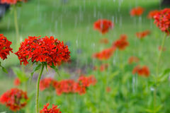 Maltese cross flowers under raindrops blooming in the green background. Horticulture and the flower planting concept Royalty Free Stock Photo