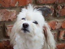 Maltese crossbreed dog. Portrait of a white female Maltese crossbreed dog gazing skyward Stock Images