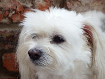 Maltese crossbreed dog. Portrait of a white female Maltese crossbreed dog with a pondering expression Royalty Free Stock Photos