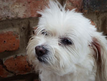 Maltese crossbreed dog. Portrait of a white female Maltese crossbreed dog with a pondering expression Stock Images