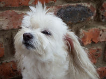 Maltese crossbreed dog. Portrait of a white female Maltese crossbreed dog sniffing the air Royalty Free Stock Images