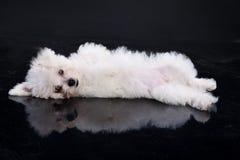 Maltese Dog. Little Maltese dog lying on a black background Royalty Free Stock Photography