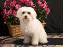 Maltese dog Royalty Free Stock Image
