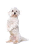 Maltese dog. Isolated on a white background Royalty Free Stock Photos