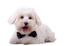 Maltese dog Stock Images