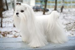 Maltese Dog. Portrait of a Maltese dog in winter outdoors Royalty Free Stock Images