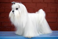 Free Maltese Dog Royalty Free Stock Photo - 17958885