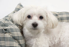 Maltese dog. White Maltese dog portrait in his bed Stock Photography