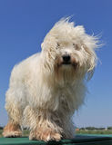 Maltese dog. Beautiful purebred maltese dog on a blue sky Stock Photo