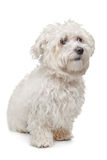 Maltese dog. In front of a white background Royalty Free Stock Photography