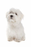 Maltese dog. Sitting in front of a white background Stock Photography