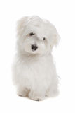 Maltese dog. Sitting in front of a white background Royalty Free Stock Image