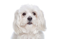 Maltese dog. In front of a white background Stock Image