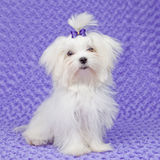 Maltese dog. With bow ,pet care Stock Image