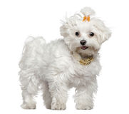 Maltese dog, 3 years old, standing. In front of white background Royalty Free Stock Photos