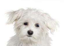 Maltese dog (4 months). Maltese dog in front of A white background Stock Images