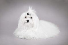 Maltese dog. Portrait / grey background Stock Photos