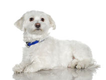 Maltese dog (5 years) Stock Photography