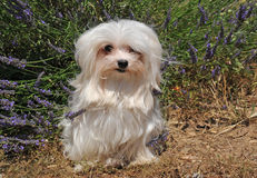 Maltese dog. Portrait of a cute maltese dog in front of lavender Stock Photos