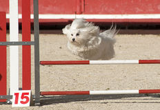 Maltese dog  in agility. Beautiful purebred maltese dog  jumping in a competition of agility Stock Images